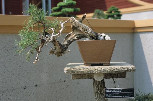 Juniperus scopulorum, Bonsaï.