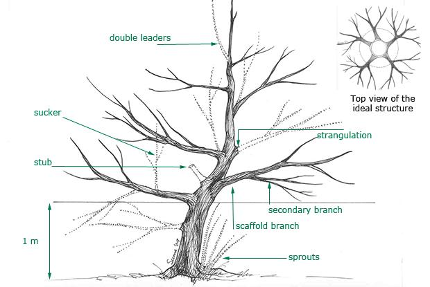 Young trees - formative pruning