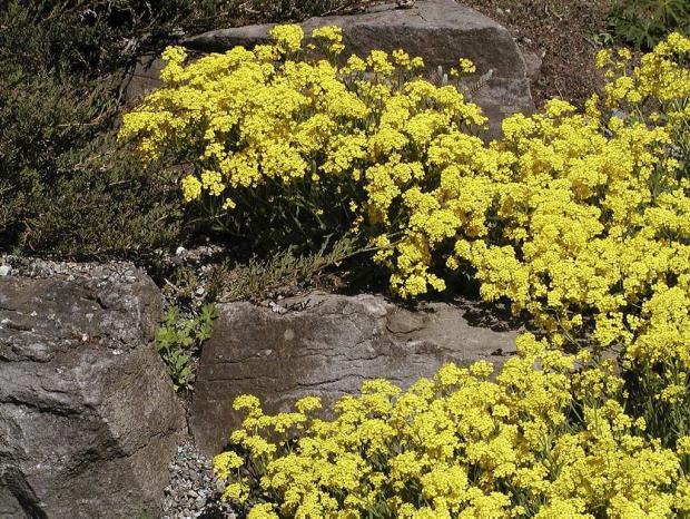Alyssum saxatile 'Citrinum'