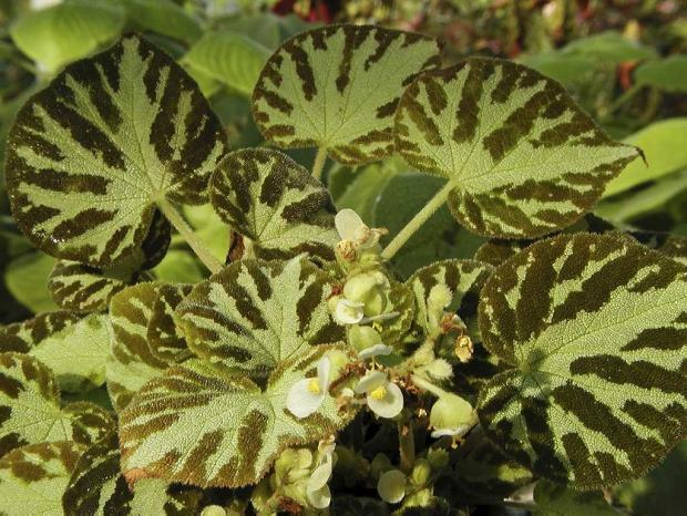 Begonia 'Otto Forster'