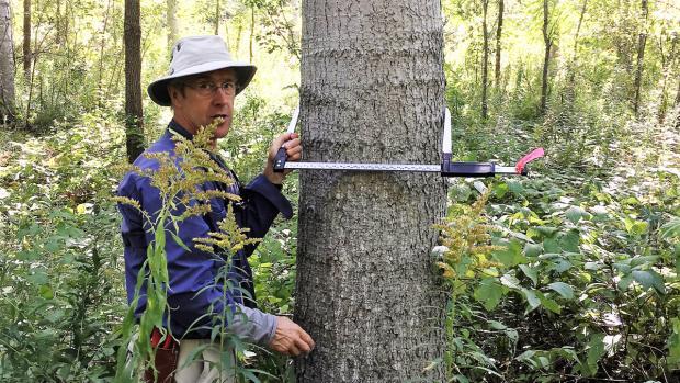 Mesure d'un peuplier planté il y a 17 ans, pour initier la restauration forestière.