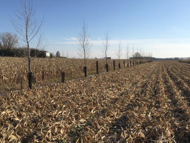 Agroforesterie : un dispositif expérimental intégrant des rangs d'arbres dans un champ de maïs pour en étudier les effets.
