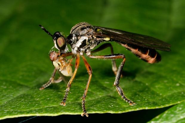 Predatory fly, Québec, Canada.