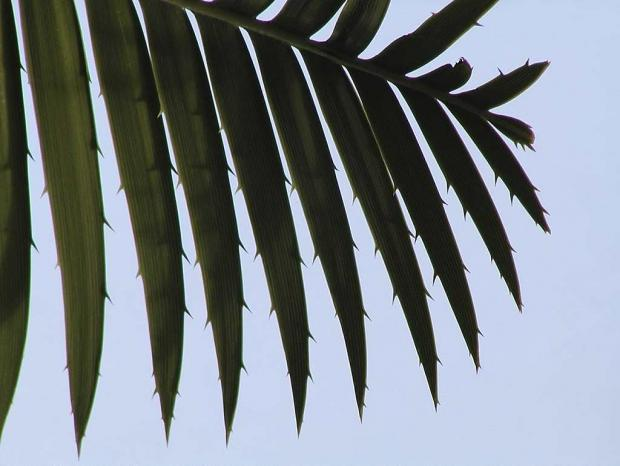 Dioon spinulosum
