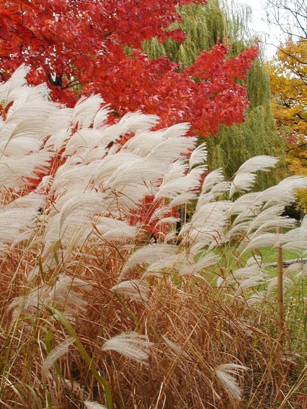 Graminée ornementale et couleur d'automne au Jardin japonais.