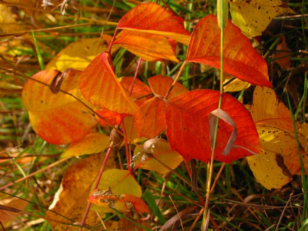 Herbe à la puce (Toxicodendron radicans) - Coloration automnale
