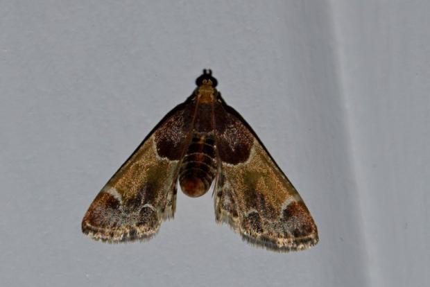 Meal moth