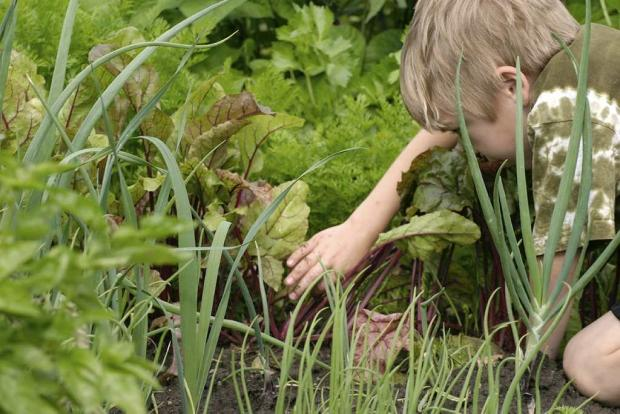 Harvest time at the Youth Gardens.