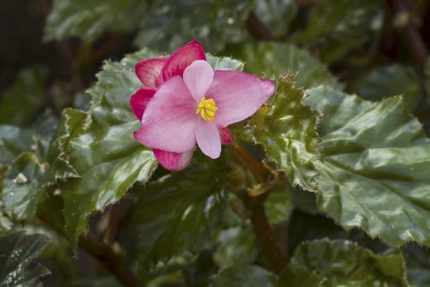 Begonia 'Richmondensis'