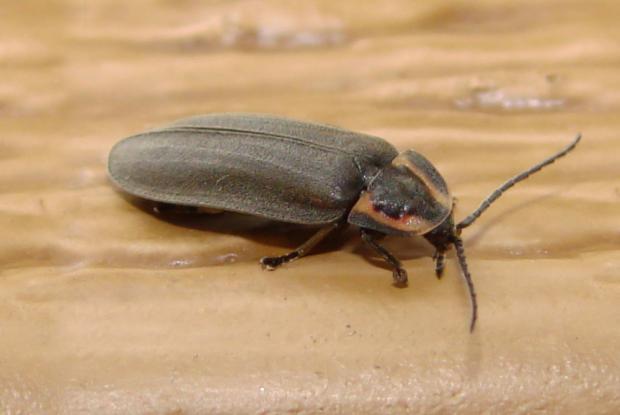 Lampyridae