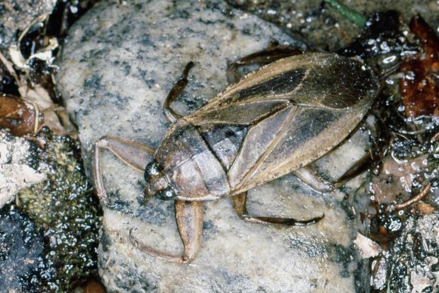 Lethocerus sp.