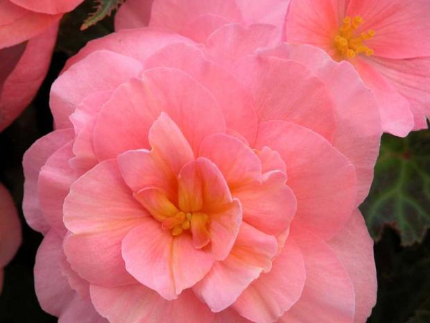 Begonia tuberosa 'Fortune Pink'