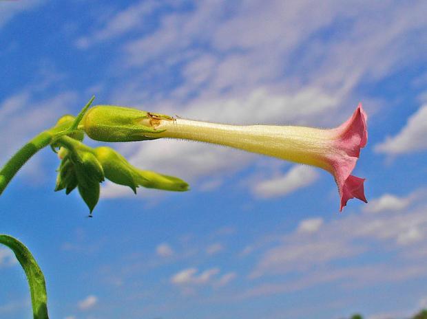 Nicotiana tabacum