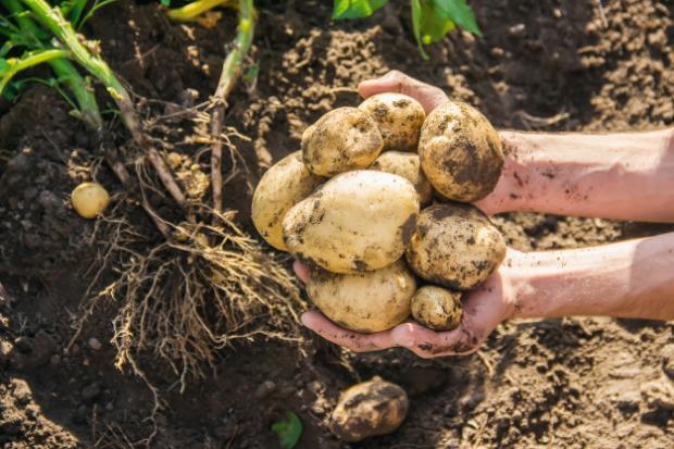 How do we grow potatoes? Planter's guide