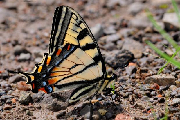 Papilio canadensis.