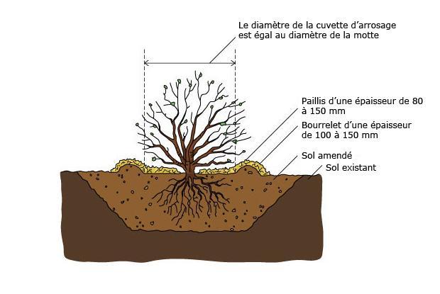 Arbres et arbustes à racines nues
