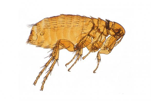 Siphonaptera