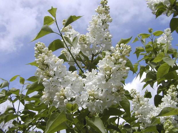 Syringa vulgaris 'Flora'