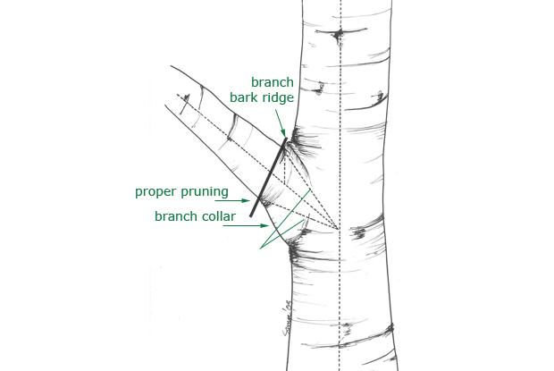 Removing a branch near the trunk