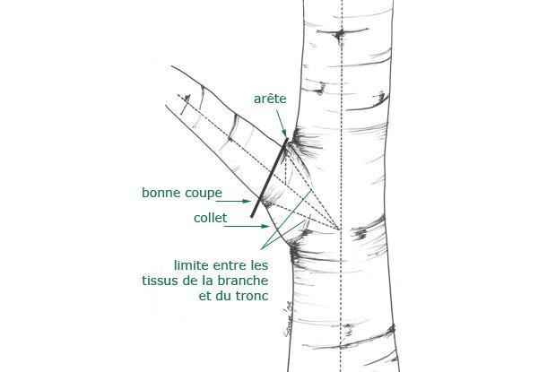 Coupe d'une branche près du tronc