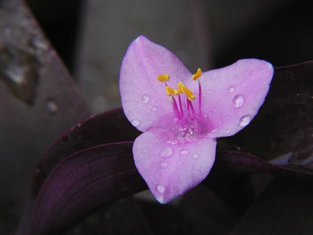 Tradescantia pallida 'Purple Heart'.
