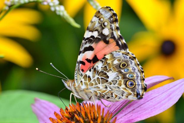 Une Belle-Dame, un papillon migrateur aussi appelée Vanesse des chardons (Vanessa cardui), posée sur une fleur.