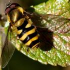 Syrphidae (family).