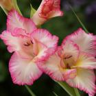 Gladiolus cv.