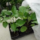 Acclimatation de semis d'intérieur (légumes)