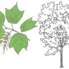 Acer pennsylvanicum