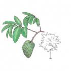 Annona muricata L.