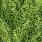 Artemisia dracunculus 'Inodora'