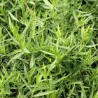 Artemisia dracunculus 'Sativa'