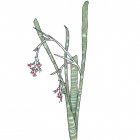 Billbergia macrolepis L.B. Smith