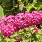 Arbuste aux papillons