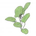 Calathea lutea (Aubl.) G.F.W. Meyer