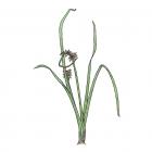 Carex spp.