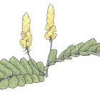 Cassia alata L. (anc. Senna alata)