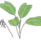 Chamaedorea deneversiana Grayum & Hodel
