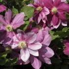 Clematis 'Poulvo'