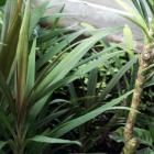Cordyline stricta