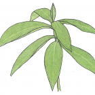 Costus guayanensis Rusby