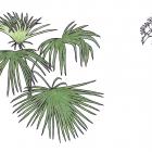 Cryosophila albida Bartlett