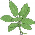 Dieffenbachia daguensis Engl.