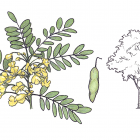 Diphysa robinioides Benth.