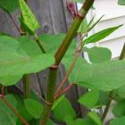 Polygonum cuspidatum, syn. Fallopia japonica