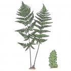 Dryopteris spinulosa (Dryopteris intermedia)