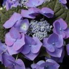 Hydrangea macrophylla 'Blaumeise'
