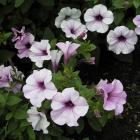 Petunia x hybrida 'Tidal Wave Silver'