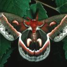 Hyalophora cecropia, Québec, Canada.